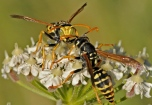 Polistes sp. wasps from Nigüelas