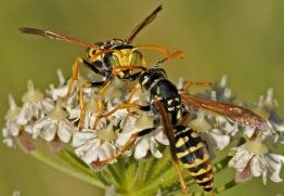 Polistes sp. wasps from Nigüelas