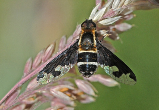 Bombyliidae negro from Dilar