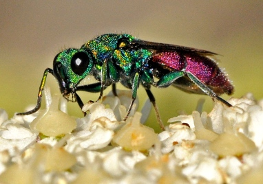 Chrysura radians, chrysididae wasp from Nigüelas