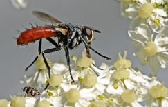 Cylindromia sp