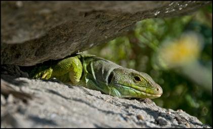 Hugo, the lagarto in the garden.