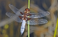 Libellula depressa from Nigüelas in Sierra Nevada.