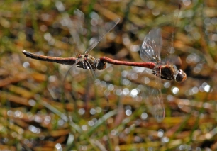 Sympetrum, copula in flight