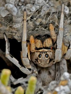 Licosa Tarantula. The largest spider in Granada.