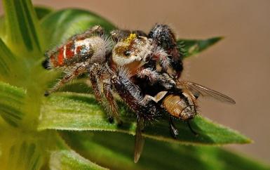 Thyene imperialis eating a fly