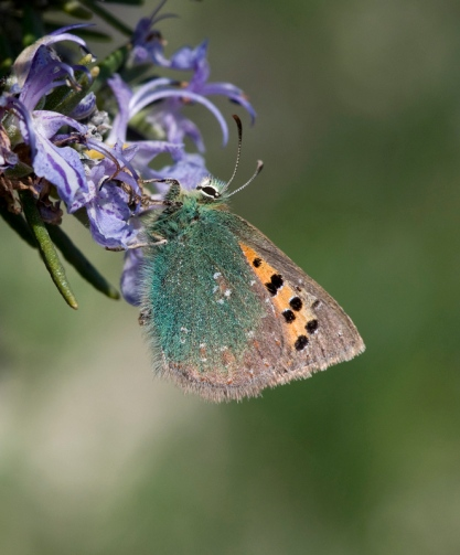 Tomares ballus one of the first butterflies that come out after winter in Spain