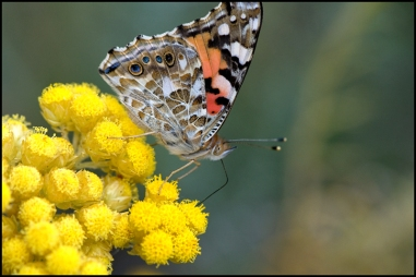 Vanesa cardui is a common butterfly you can find everywhere
