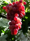 Spanish grapes