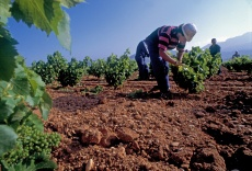 "Tending the vineyards of ""Viña Tondonia"" near Haro, Rioja"