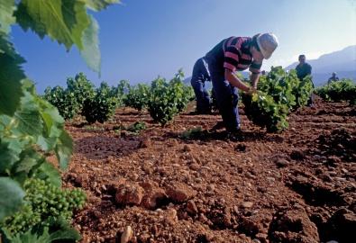 "Tending the vineyards of ""Viña Tondonia"" near Haro, Rioja"