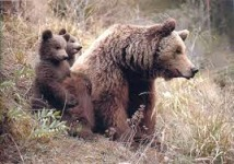 Asturian brown bears