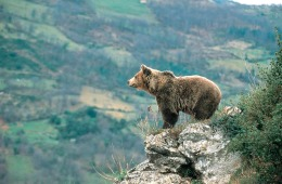 Bear_Picos_Europa