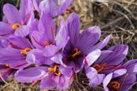 Spanish saffron flowers