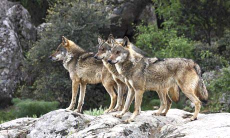 Wolves in Madrid