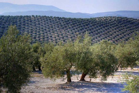 Spanish olive groves