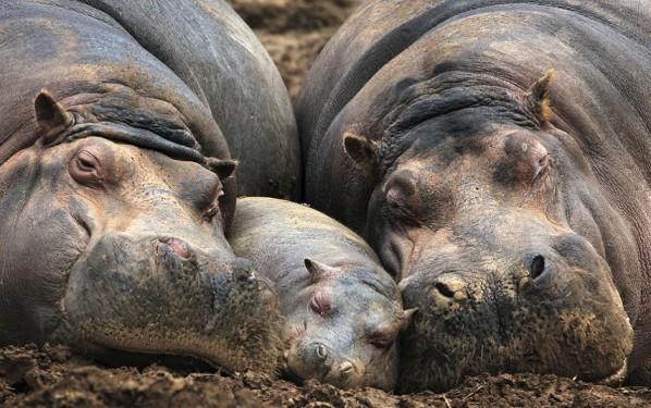 Spain hippo family