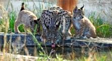 Iberian lynx family