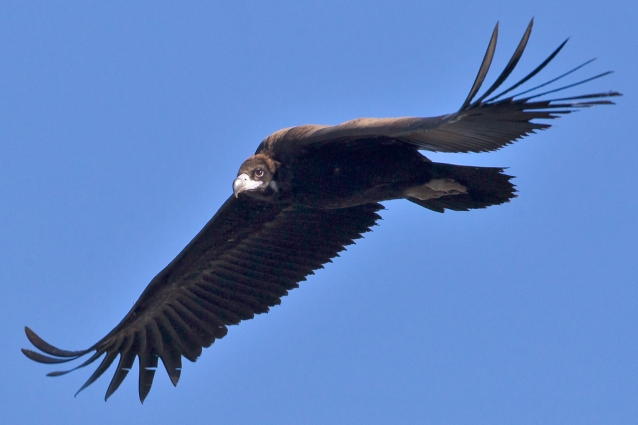 Cinereous vulture Mallorca
