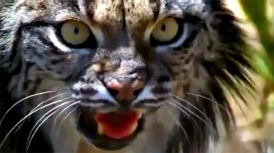 Iberian lynx Spain