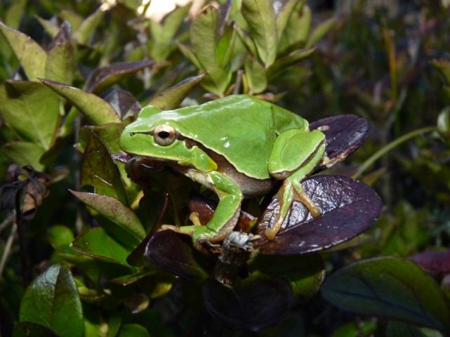 Frog Alamedilla Spain