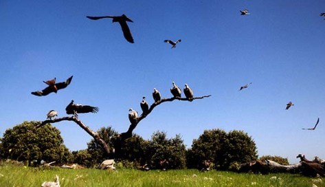 Vultures Spanish reserve