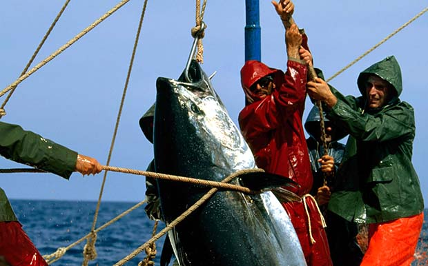 Spanish tuna fishing