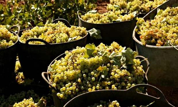 Rare Spanish grapes