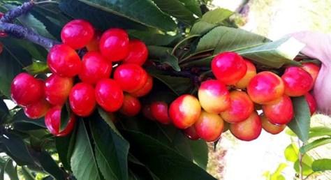 Spanish cherries export