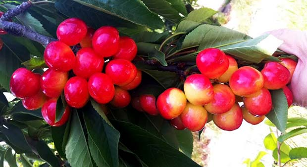 Spanish cherries export